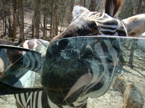 Circle G Ranch More zebra invasion