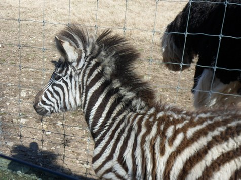 Circle G Ranch baby zebra