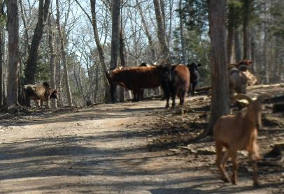 Circle G Ranch cattle blockade