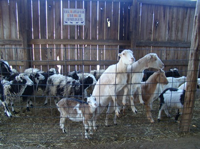 Circle G Ranch petting zoo goats