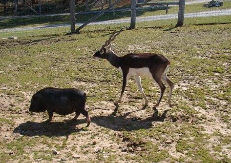 Circle G Ranch pig and antelope
