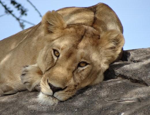 Lion in the Serengeti.