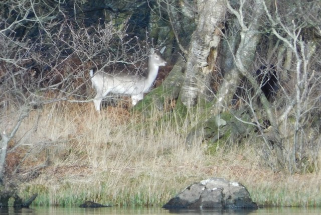 Fallow Deer on Inchmoan