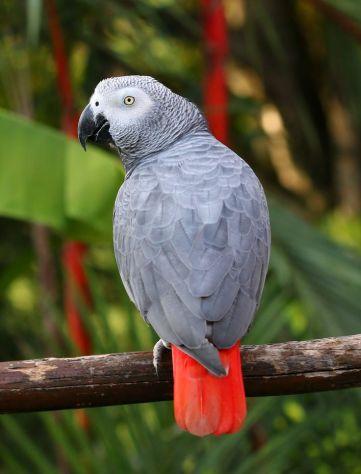 African Grey