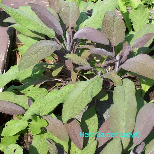 Medium Of Sage Pest Control