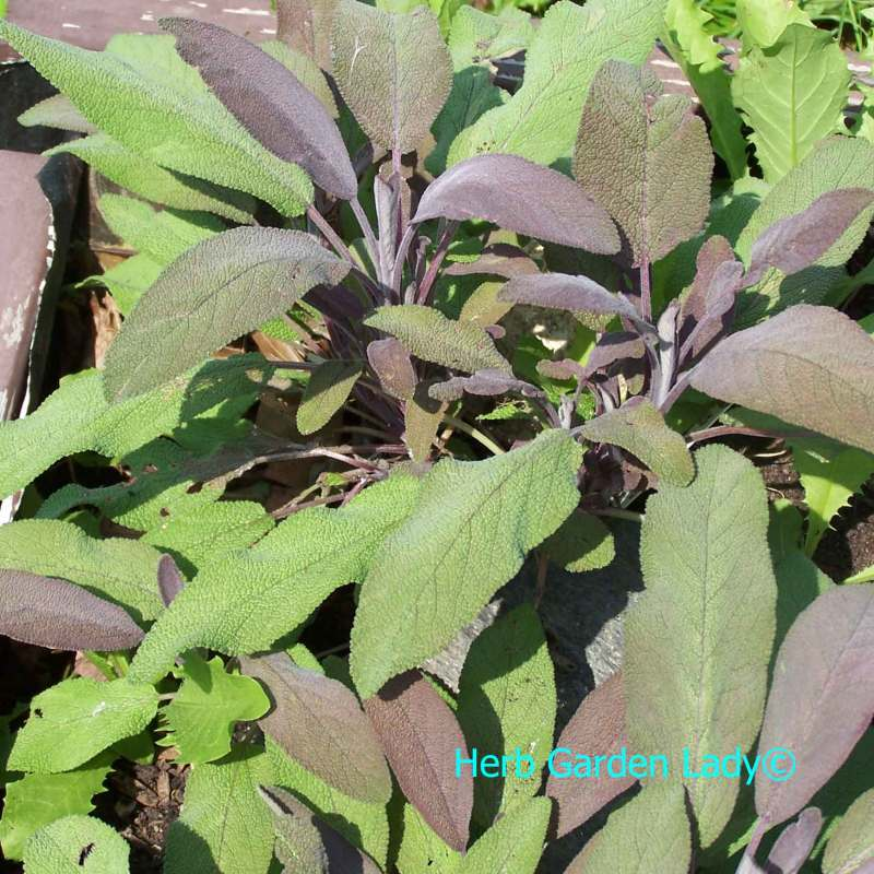 Large Of Sage Pest Control