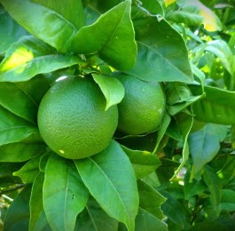 big green limes growing on tree, surrounded by green leaves