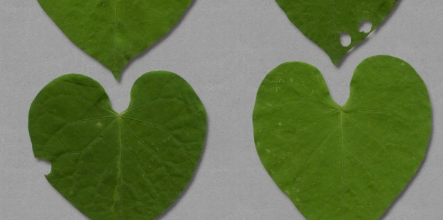 Free download ~ heart shaped .png leaves ~ courtesy of hgdesigns.co