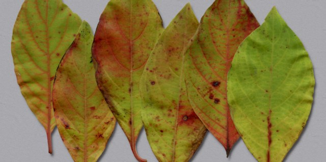 Free download ~ high resolution leaf png files ~ courtesy of www.hgdesigns.co
