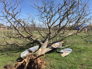 Downed Apple Tree