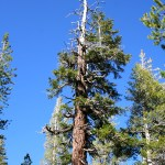 A hardy tree in the subalpine forest grows a new top from one of its branches