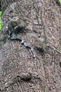 Black snake on tree