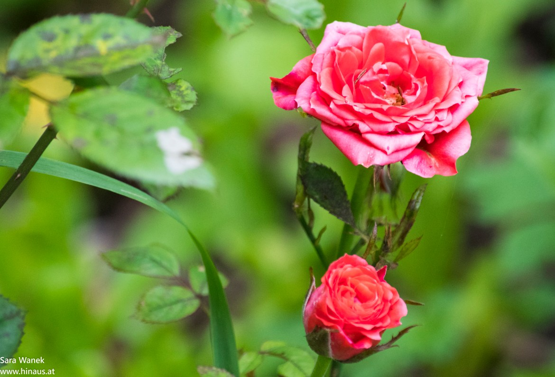 Rosa, Rosen, Garten, Blumen, Flowers