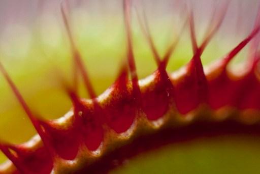 close up of venus flytrap