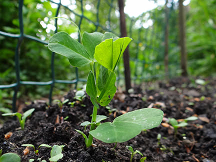 garden pea seedling on our allotment