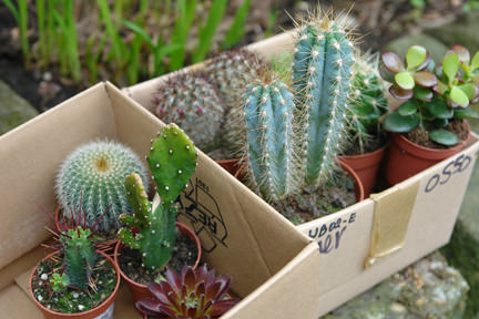 Collection of small succulents in two cardboard boxes in our garden