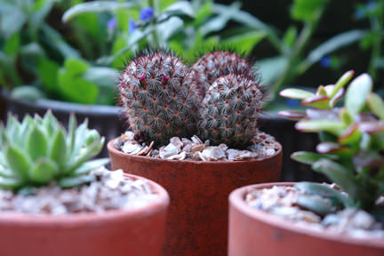 Collection of small cacti in terracotta pots in our garden