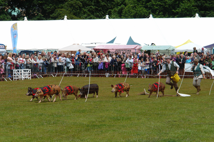 pigs on display at the Todmorden Agricultural Show