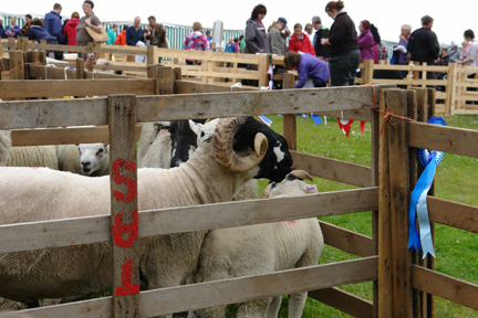 ram on display at the Todmorden Agricultural Show