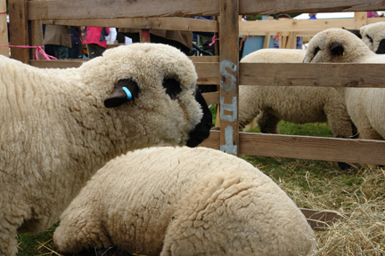 sheep on display at the Todmorden Agricultural Show