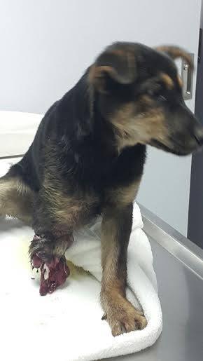 小黑狗傷口深到見骨,及明顯是被扯斷,慘不忍睹。