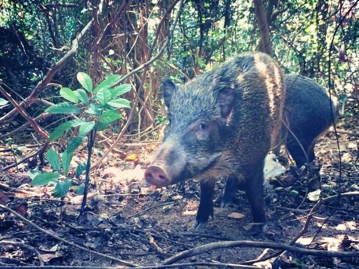 隨著都市化,野豬很難覓食。