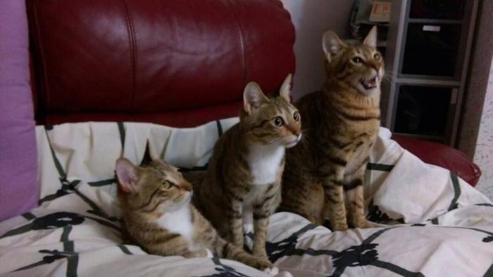 本報記者共領養了四隻小貓,牠們都是唐貓,都一樣很可愛。