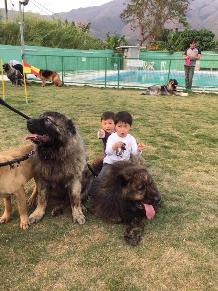 香港高加索犬協會表示,這種狗並會是猛獸,更能與小孩及小狗一起玩,不會立亂襲擊人。 相片由香港高加索犬協會提供