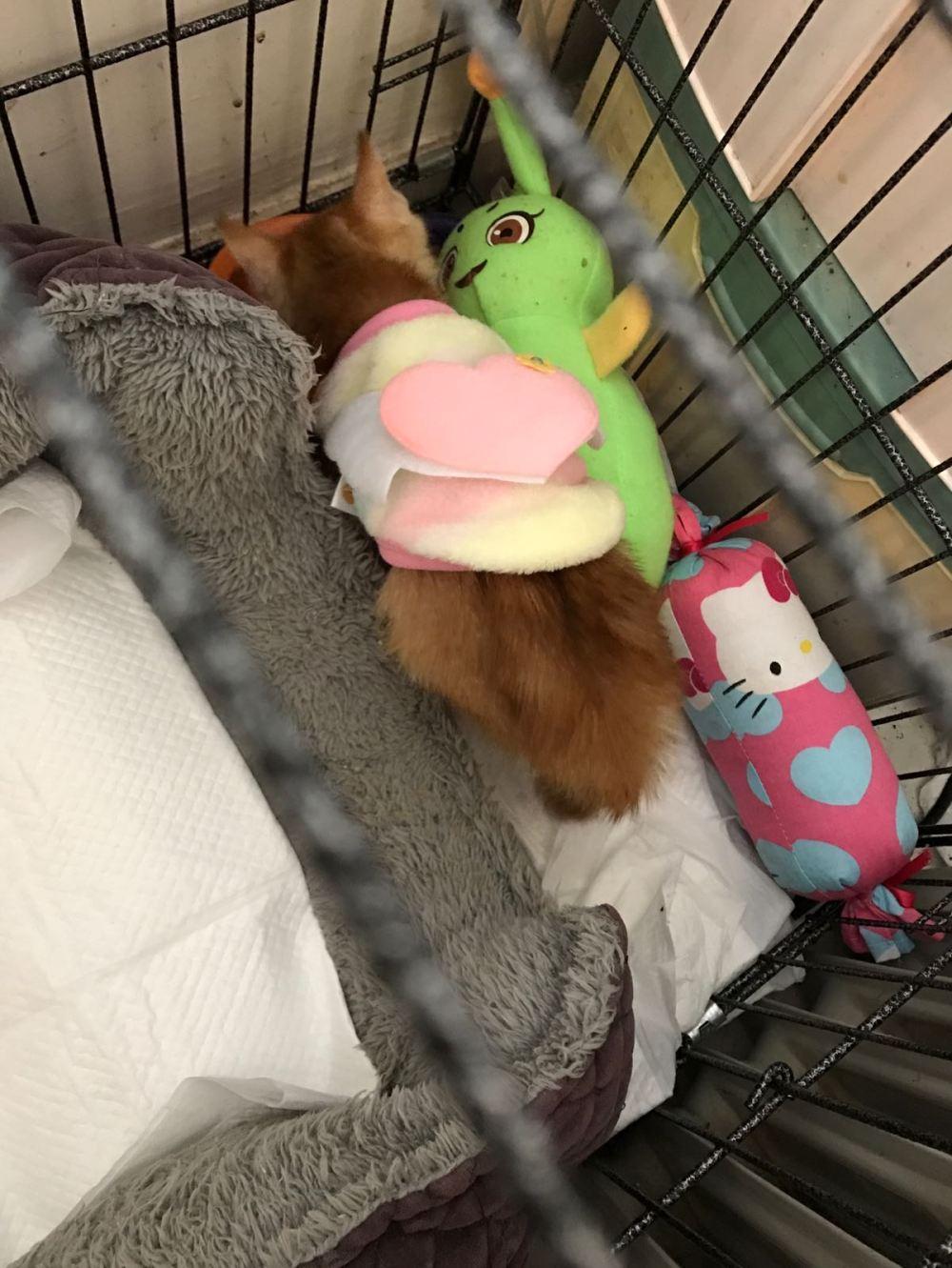 貓貓現在已痊癒,由暫託主人照顧。 相片由ROSA提供