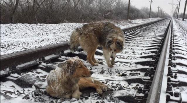 Panda對Lucy不離不棄,一直在火車軌上守護著伴侶。 網上圖片