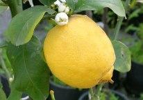 limone-013