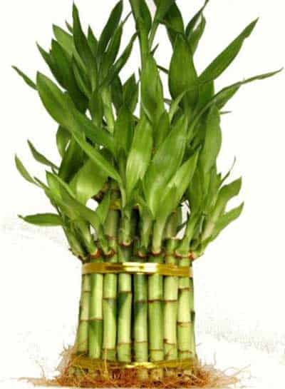Quality-Lucky-Bamboo-Stalks