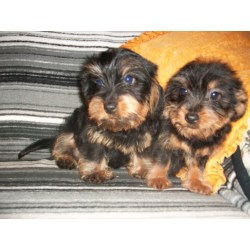 Small Crop Of Dachshund Yorkie Mix