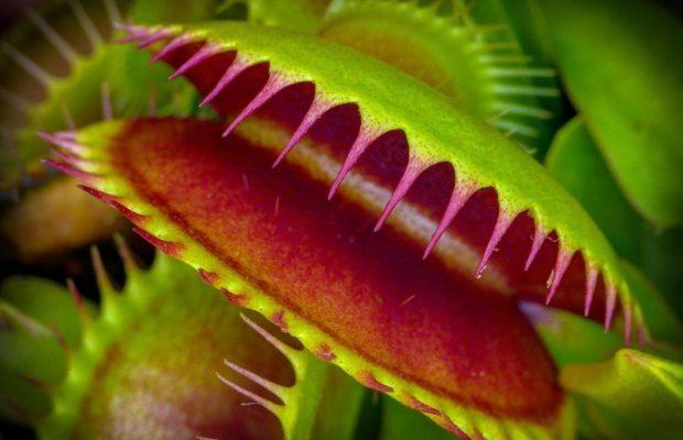 Las-plantas-carnivoras-saben-contar