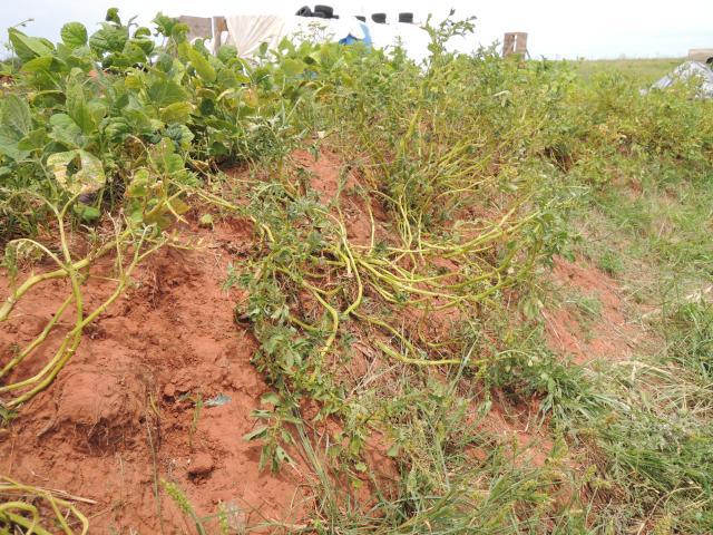 Potatoe defoliation.