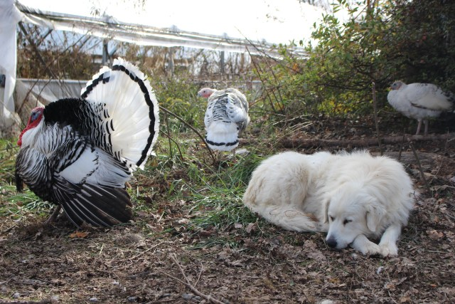 A southern Illinois Tom, his lady-friend, and Mowgli, the Pyrenees