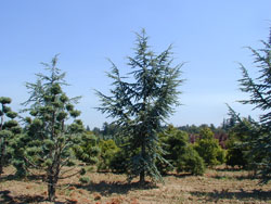 Atlas Cedar Image
