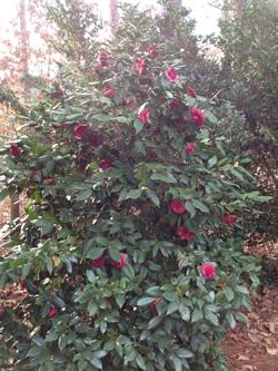Camellia Japonica Image