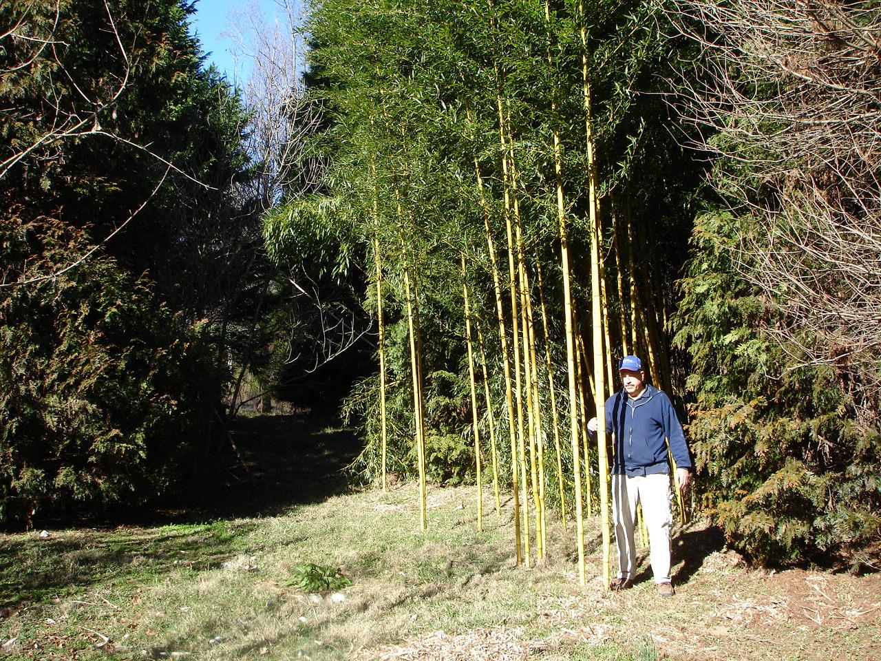"Golden Crookstem ""Alata"" Bamboo Image"