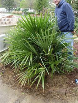 Needle Palm Image