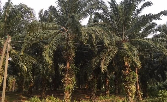 African Palm Plantations