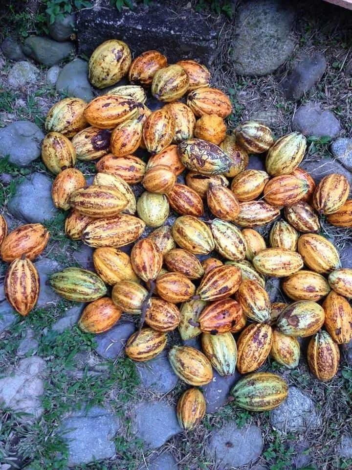 Cacao Fruits