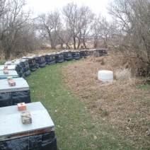 Jeff Paulsen's hives in Manitoba prior to being unwrapped in early spring.