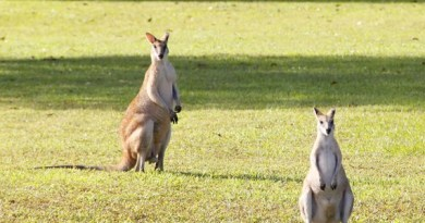 australian wallabees