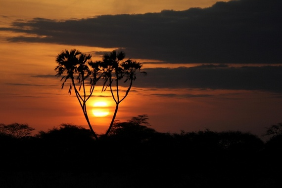 Doum Palms at sunrise in Meru National Park