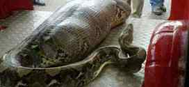 Random Weird: Python Eats Passed Out Drunk Guy In India!