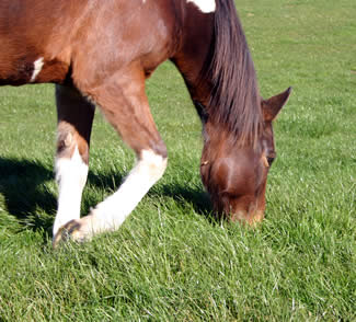 Grass will recover much quicker if it's not grazed too short.