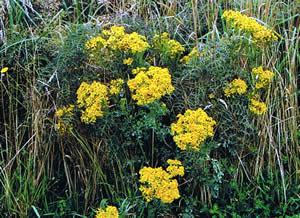 Ragwort should be removed from paddocks where horses graze.