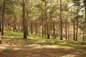 יערות אורנים