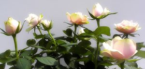 Caring for your rose bushes
